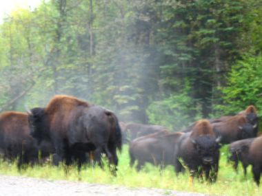 "hot springs 109 ""Wild Buffalo""Liard Hot Springs, BC"