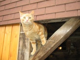 IMG_0084 Swiss Cat, Muotathal, Schwyz, Switzerland