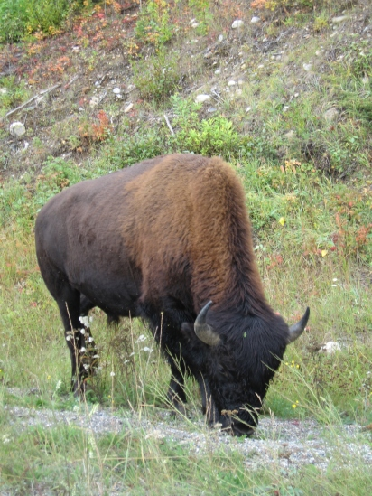 img_0115 Wild Buffalo, Liard Hotspring, BC