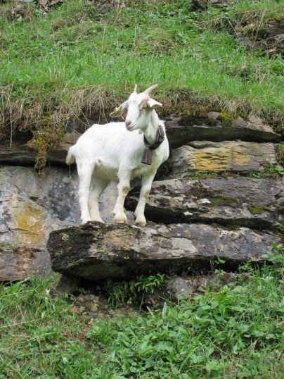 "IMG_0273 ""Swiss Goat""Muoatathal, Schwyz, Switzerland"