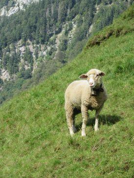 "IMG_0274 ""Swiss Sheep"" Muoatathal, Schwyz, Switzerland"