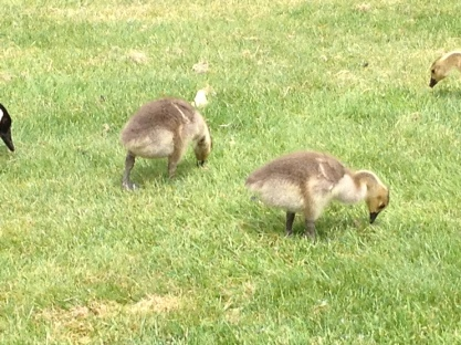 IMG_3251 Ducklings, Mill Lake, Abbotsford, BC