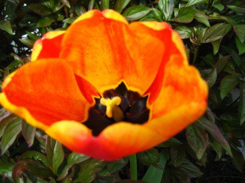 spring 2007 135 Fraser Valley, BC Tulip